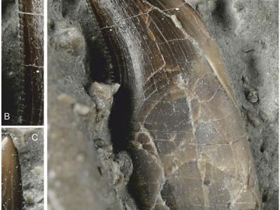 Scoperto in Gran Bretagna il più antico Neoteropode basale del Giurassico, Dracoraptor hanigani