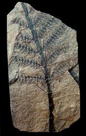 Foto-11---Asterophyllites-equisetiformis---Westphaliano---Graissessac---Francia.jpg